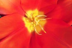 Gelbe Tulpenstaubgefässe des Detailsonnenscheins in der roten Blume lizenzfreies stockfoto