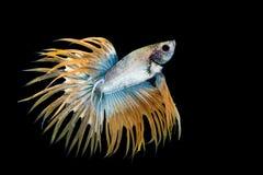 Gelbe und blaue betta Fische stockfotos