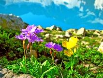 Gelbe und blaue Blumen auf dem Gebirgshintergrund lizenzfreie stockfotos