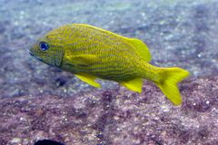 Gelbe und blaue gestreifte Fische Stockfotos