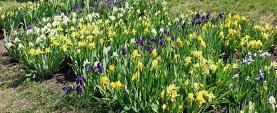 Gelbe und blaue Iris blüht Blüte auf einem Frühlingsblumenbeet Lizenzfreie Stockfotos
