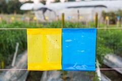 Gelbe und blaue klebrige Falle auf dem Landwirtschaftsgebiet Stockfotos