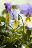 Gelbe und blaue Pansies Stockbild