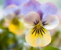 Gelbe und blaue Pansies lizenzfreie stockfotos