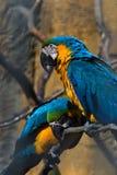 Gelbe und blaue Papageien Stockfotografie