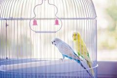 Gelbe und blaue Papageien stockbild