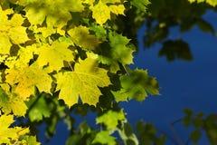 Gelbe und grüne Ahornholzblätter Stockfotografie