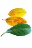 Gelbe und grüne Blätter Stockfotos