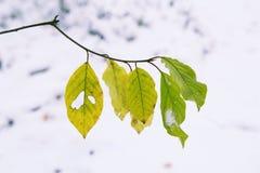 Gelbe und grüne Blätter auf dem Zweig und dem ersten Schnee Stockfotos