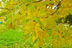Gelbe und grüne Blätter auf einem Baumast Stockfotografie