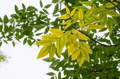 Gelbe und grüne Blätter auf hellem Hintergrund Stockfoto