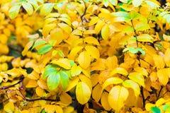 Gelbe und grüne Blätter des Hintergrundes im Herbstbaum im Park Stockbild