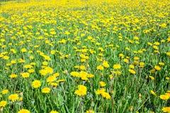 Gelbe und grüne Wiese zur Sommerzeit Lizenzfreies Stockfoto