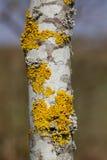 Weiße Baumrinde mit Flechten Stockfotografie