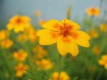 Gelbe und orange Blume stockfotos