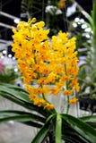 Gelbe und orange Farben von Ascocentrum-miniatum Orchideen blühen Lizenzfreies Stockfoto