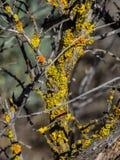 Gelbe und orange Flechte auf toten Zweigen Stockfotografie