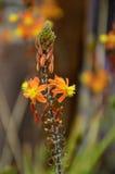 Gelbe und orange Kuchenblume stockfotos