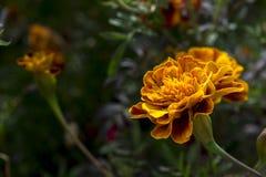 Gelbe und orange Ringelblumenblume Stockfoto