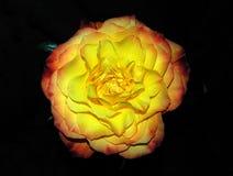 Gelbe und orange Rose Stockbild