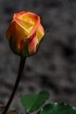 Gelbe und orange Rose auf einem dunklen Hintergrund Stockbild