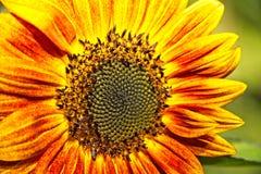 Gelbe und orange Sonnenblume Stockbild