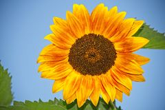 Gelbe und orange Sonnenblume Stockfotos