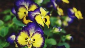 Gelbe und purpurrote Blume Lizenzfreies Stockbild