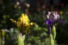 Gelbe und purpurrote Iris - heller Frühling blüht im Garten Lizenzfreies Stockfoto