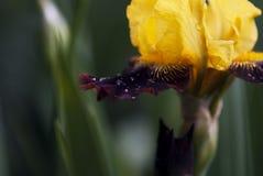 Gelbe und purpurrote Iris mit Wasser-Tropfen Lizenzfreie Stockfotografie