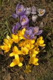 Gelbe und purpurrote Krokusse lizenzfreies stockbild