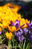 Gelbe und purpurrote Krokusse des Frühlinges Stockfotografie