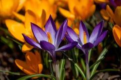 Gelbe und purpurrote Krokusse des Frühlinges Stockbilder