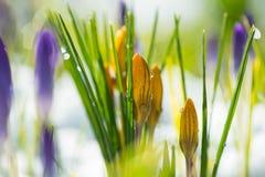 Gelbe und purpurrote Krokusse im Vorfrühling, Abschluss oben lizenzfreies stockfoto