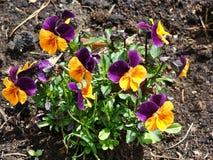 Gelbe und purpurrote Pansies Lizenzfreie Stockfotos
