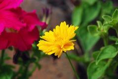 Gelbe und rosafarbene Blumen Stockbilder