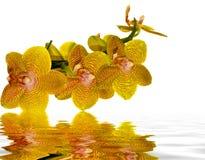 Gelbe und rosafarbene Orchidee, die im Wasser sich reflektiert Stockfoto