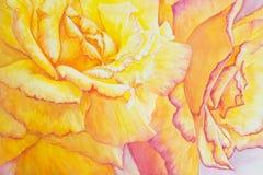 Gelbe und rosafarbene Rosen Stockbilder