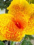 Gelbe und rote Blume Lizenzfreies Stockbild