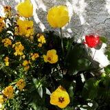 Gelbe und rote Blume Stockbilder