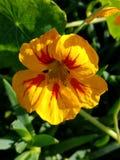 Gelbe und rote Blume schließen oben mit grünem Hintergrund 4k Stockfoto
