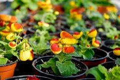 Gelbe und rote Blumen in den Töpfen Stockfoto