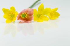 Gelbe und rote Blumen mit Reflexion auf weißem Hintergrund Stockbild