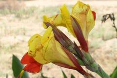 Gelbe und rote Blumen und Knospen Canna Stockbild
