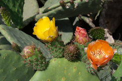 Gelbe und rote Blumen von Kaktusfeigen lizenzfreies stockfoto