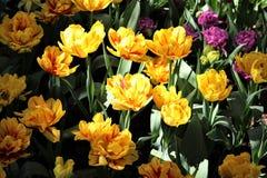 Gelbe und rote doppelte Tulpen in der gescheckten Sonne bei Roozengaarde während des Skagit-Tal-Tulpenfestivals stockfotografie