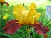 Gelbe und rote Iris Lizenzfreies Stockbild