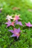Gelbe und rote japanische Ahornblätter gefallen auf grünes moosiges groun Stockfotos