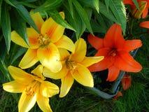 Gelbe und rote Lilie in meinem Garten Stockfotos