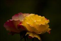 Gelbe und rote Rosen Stockfotografie